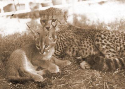 Ednas pet cheetah, lynx 1968