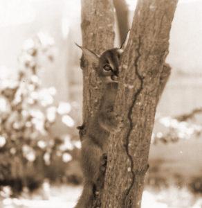 Edna's pet lynx Pixie